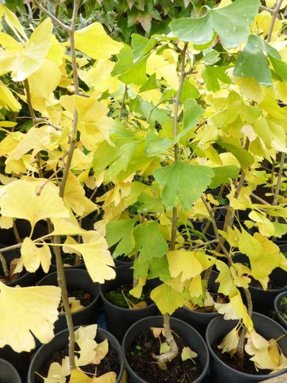 Arbuste Ginkgo Biloba Environ 1 M Arbres Arbustes